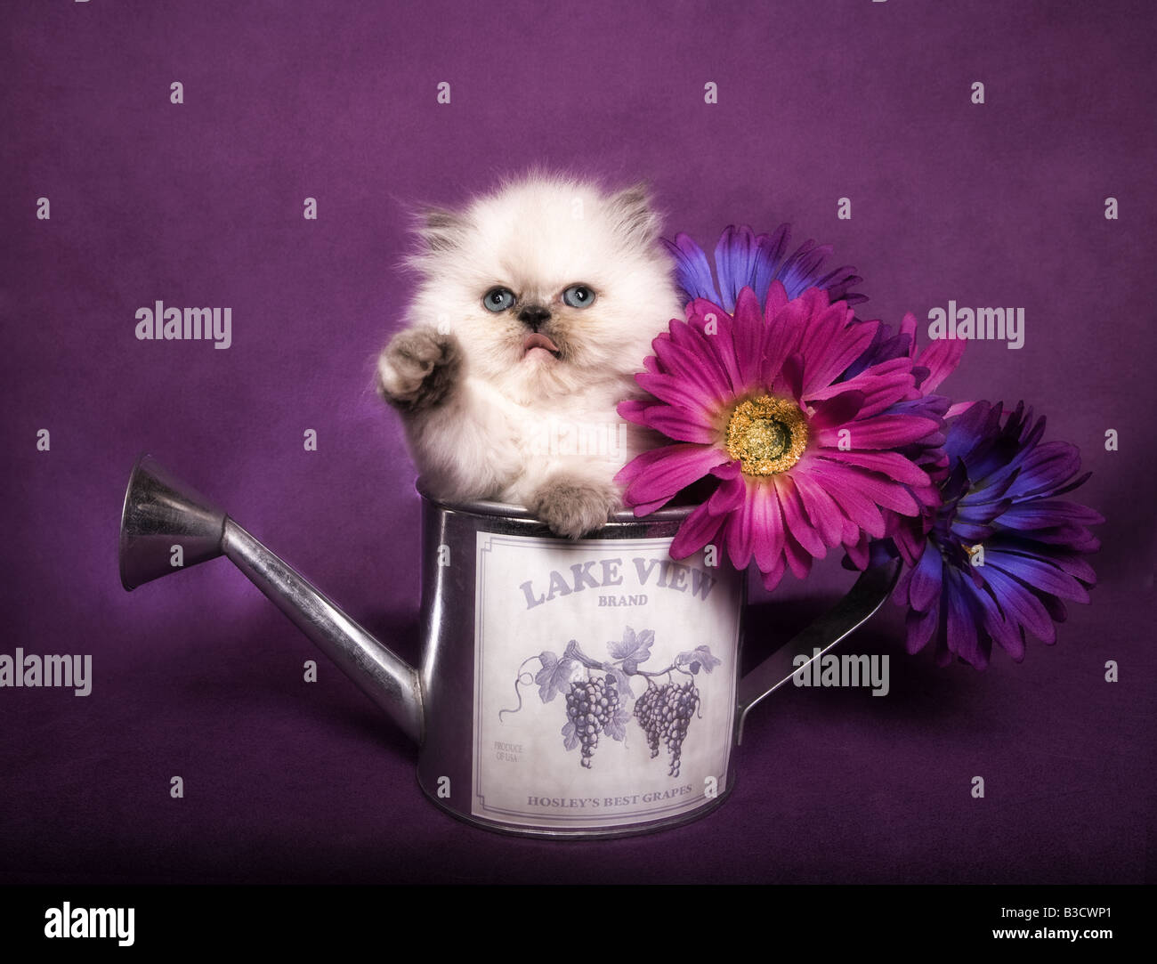 Cute torti point Himalayan kitten in watering can with flowers on purple background - Stock Image