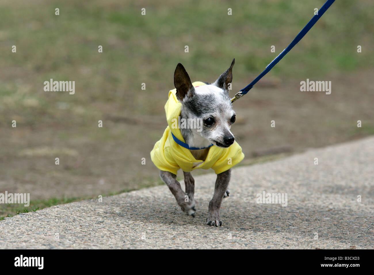 A Chihuahua on a leash - Stock Image
