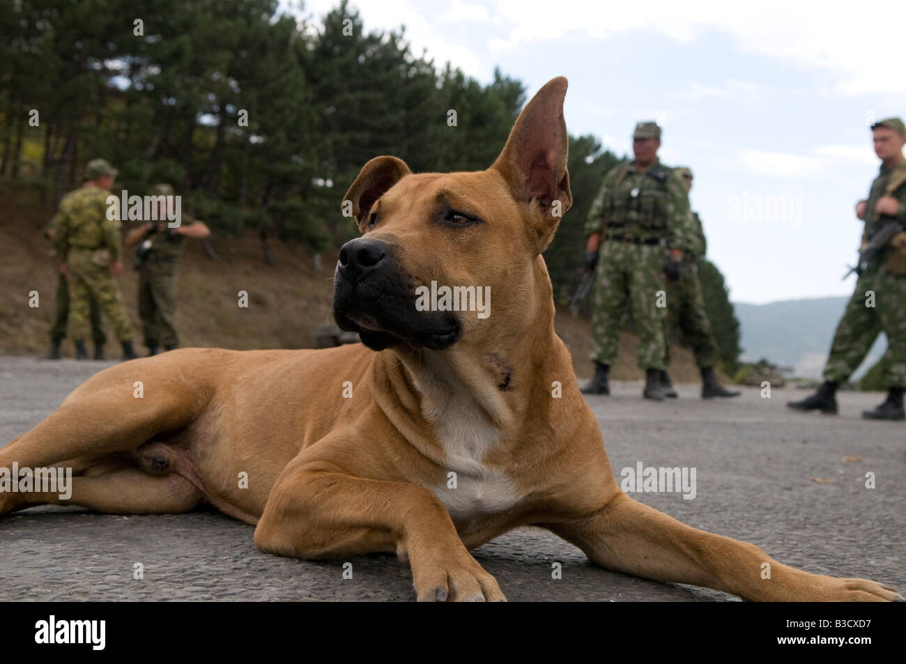 A stray dog sits amid Russian troops near the city of Gori, during the Russo-Georgian War - Stock Image