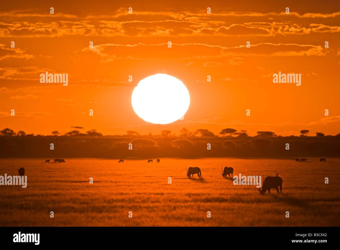Africa, Botswana, Silhouette of gemsbok herd (Oryx gazella) at sunset - Stock Image