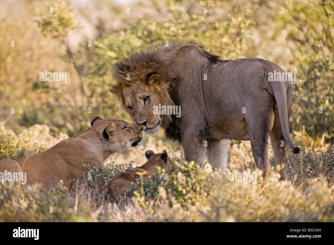 Africa, Botswana, African Lion (Panthera leo) Lioness (Panthera leo) and cub - Stock Image