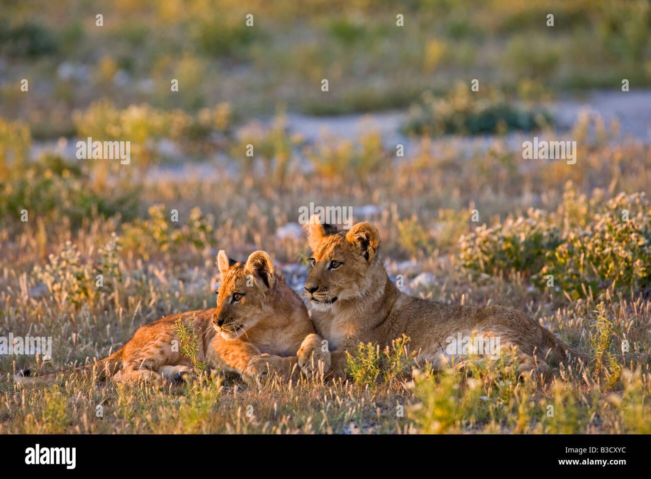 Africa, Botswana, Lion cubs (Panthera leo) - Stock Image