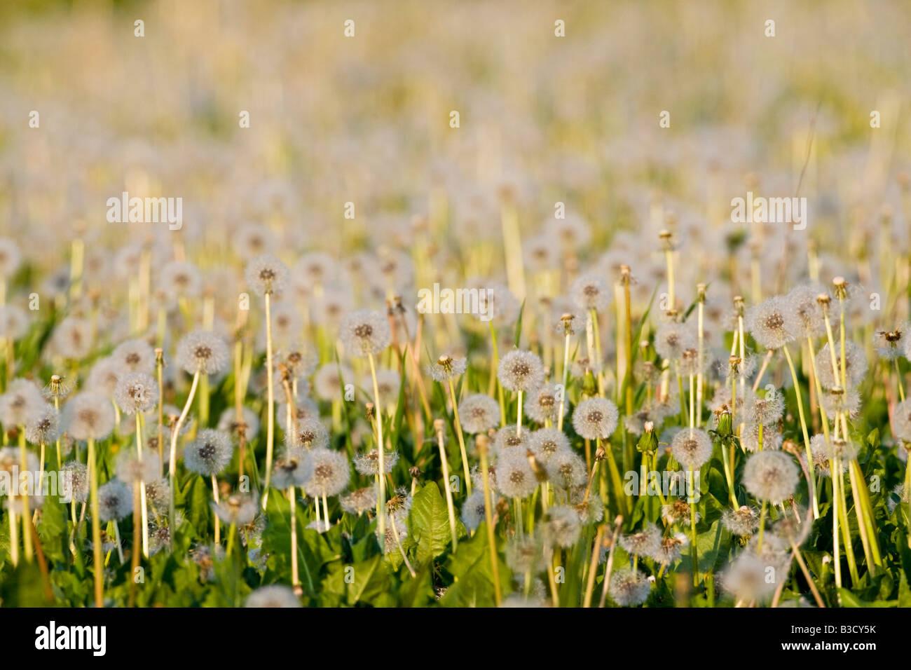 Germany, Bavaria, Dandelion clocks - Stock Image