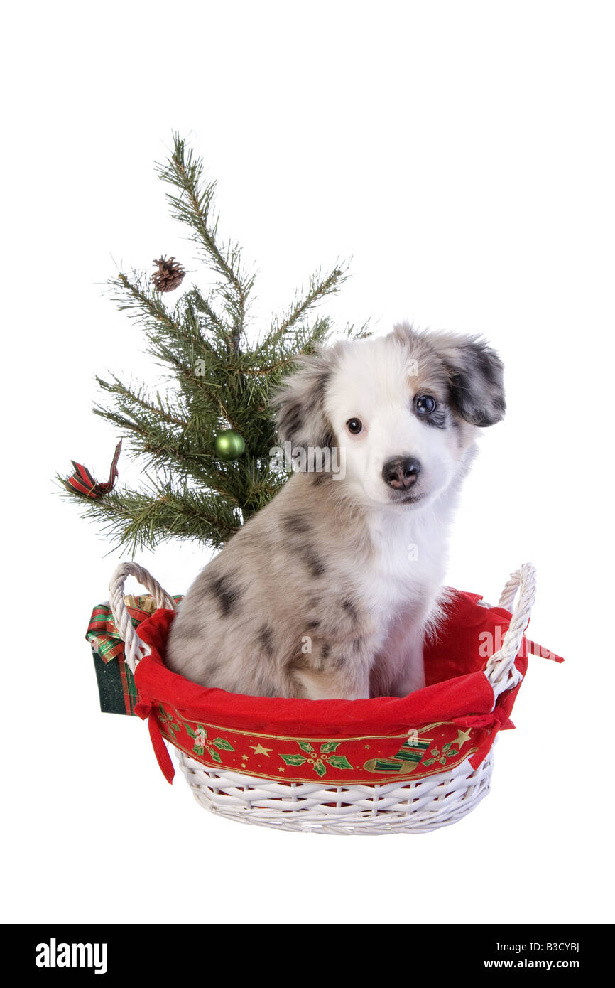Cute Christmas Puppies.Cute Christmas Australian Shepherd Puppy In Basket Under The