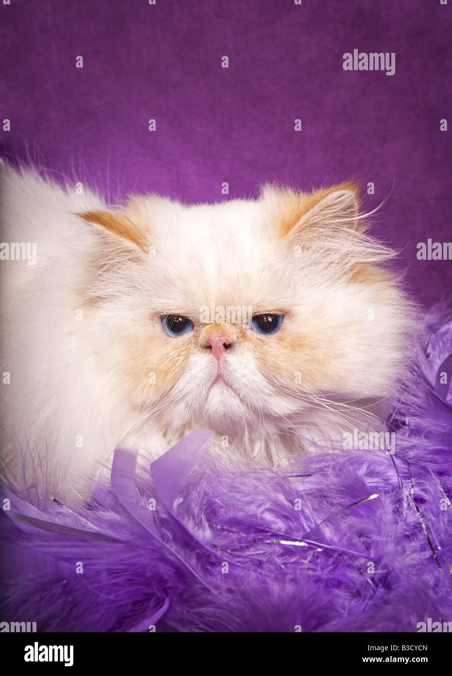 Flame Point Himalayan Cat lying on lavender boa on vibrant purple background - Stock Image