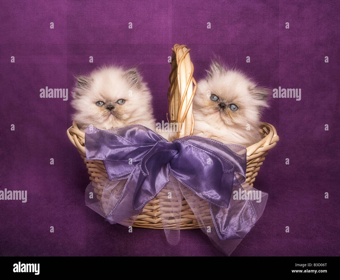 Two cute tortie point Himalayan kittens in a basket on purple background - Stock Image
