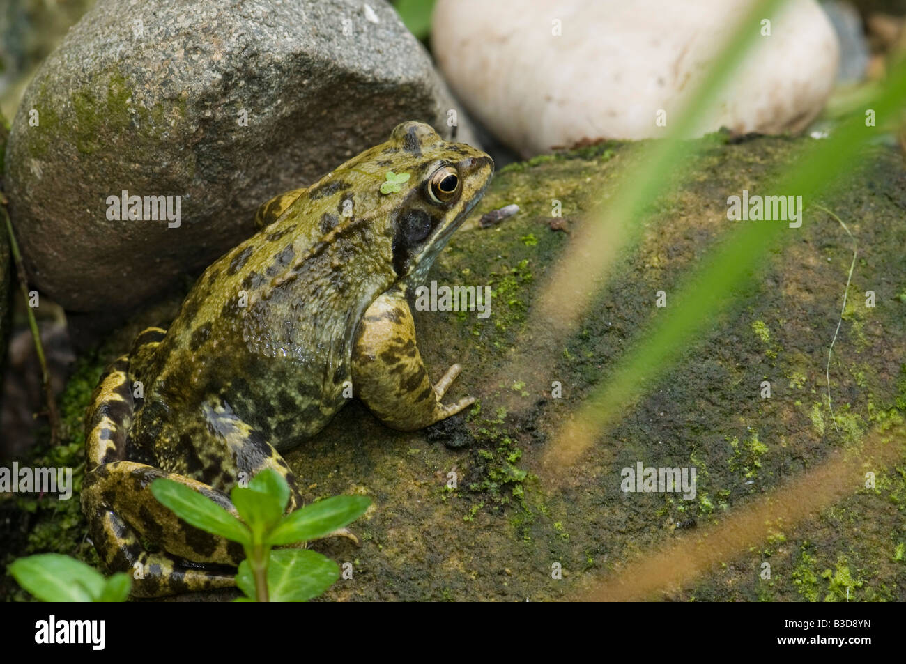 A female common frog Rana temporaria in a freshwater wildlife pond - Stock Image