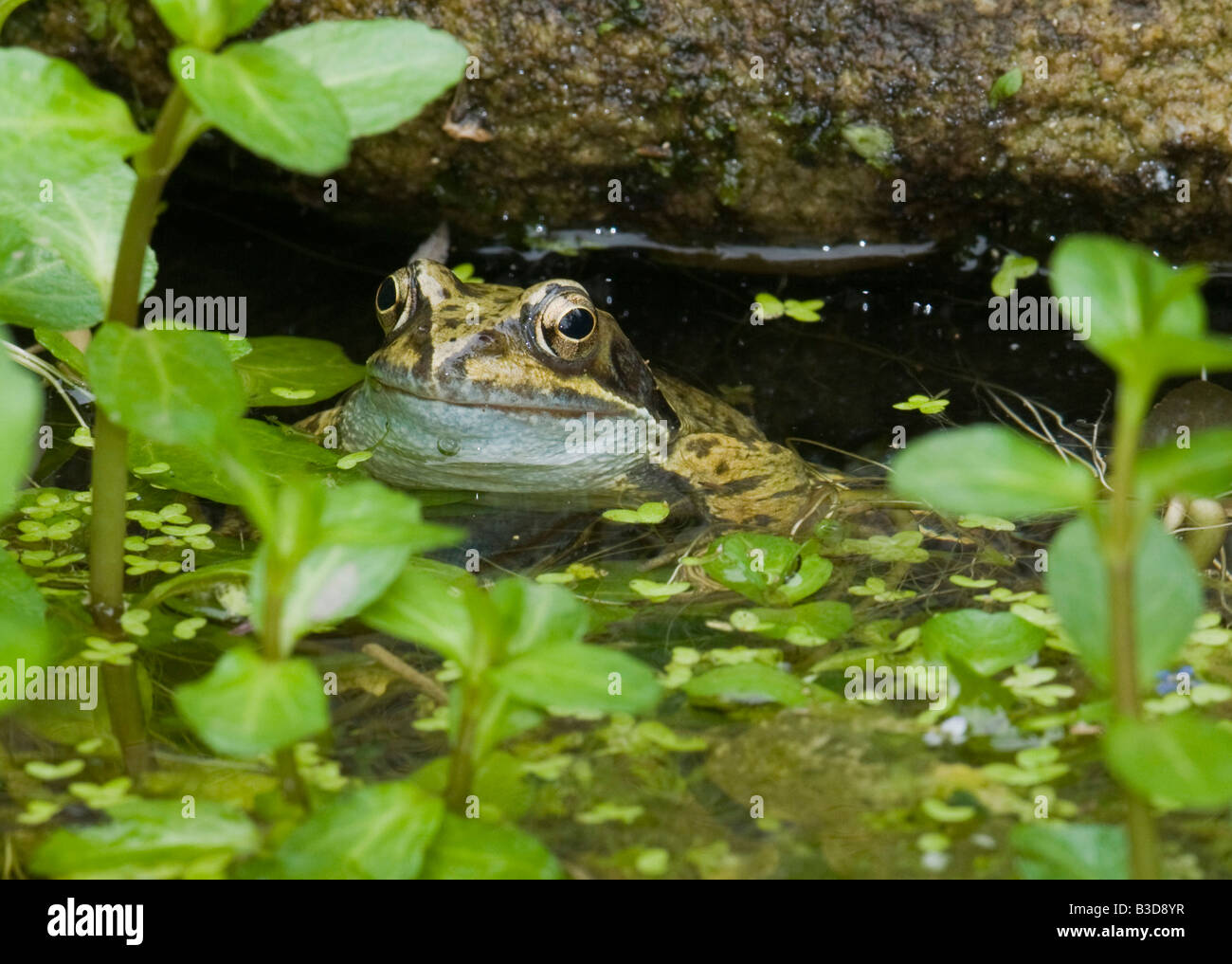 A male common frog Rana temporaria in a fresh water wildlife pond - Stock Image