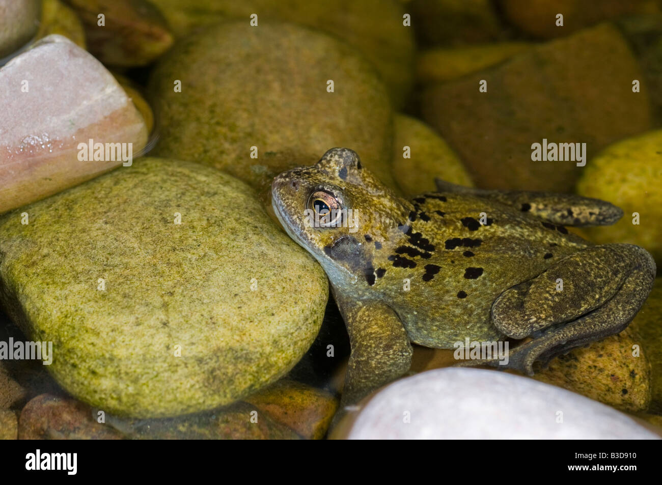 A female common frog Rana temporaria in a freshwater wildlife pond. - Stock Image