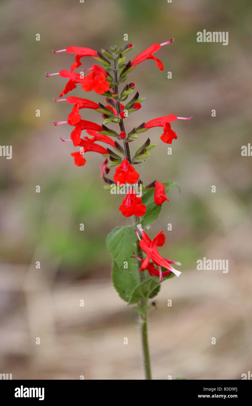 Red Salvia sp Growing Wild in Uxmal, Yucatan Peninsular, Mexico - Stock Image