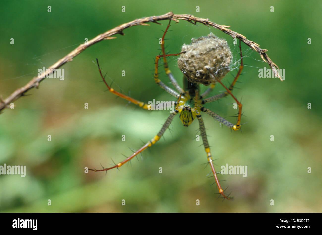 araignée lynx et son cocon Genre Peucetia dans la famille des Oxyopidae Ces araignées chasseuses 3 4 cm - Stock Image