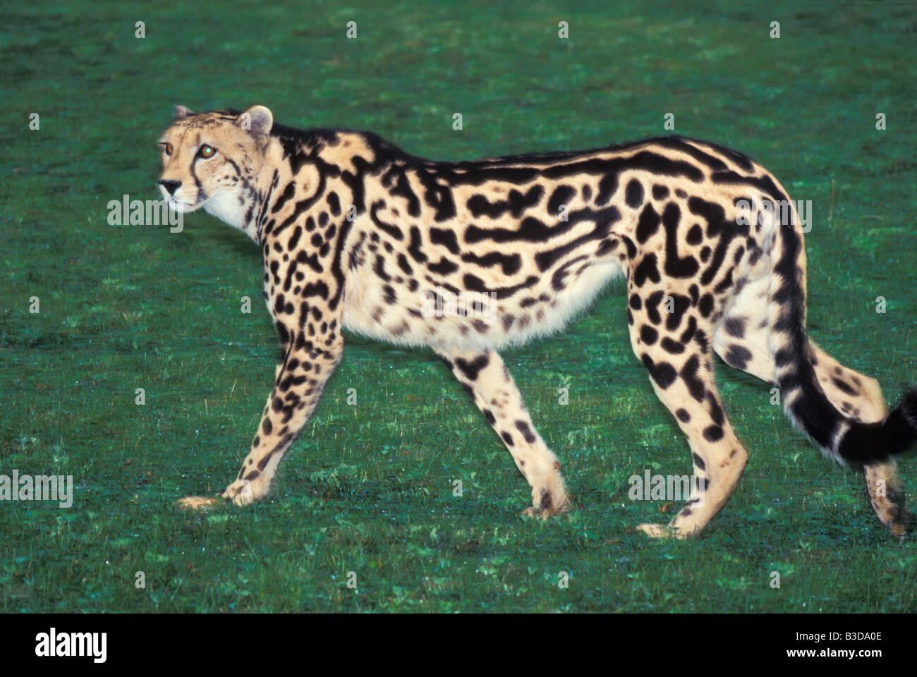 guepard royal King Cheetah walking Acinonyx jubatus rex Acinonyx Acinonyx Jubatus Rex adult Adult Animal aggression - Stock Image