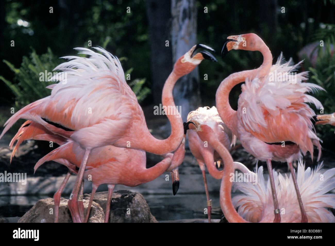 Flamant Rose Cuba Flamingo Phoenicopterus Ruber Ruber Display Animal Stock Photo Alamy