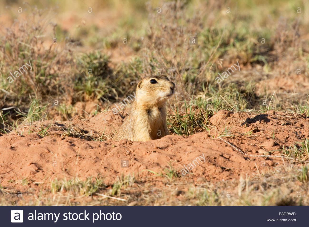 gunnison's prairie dog colorado call - HD1300×956
