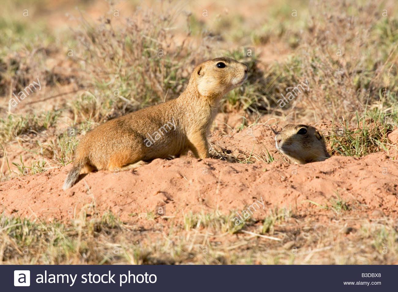 gunnison's prairie dog colorado call - 600×464