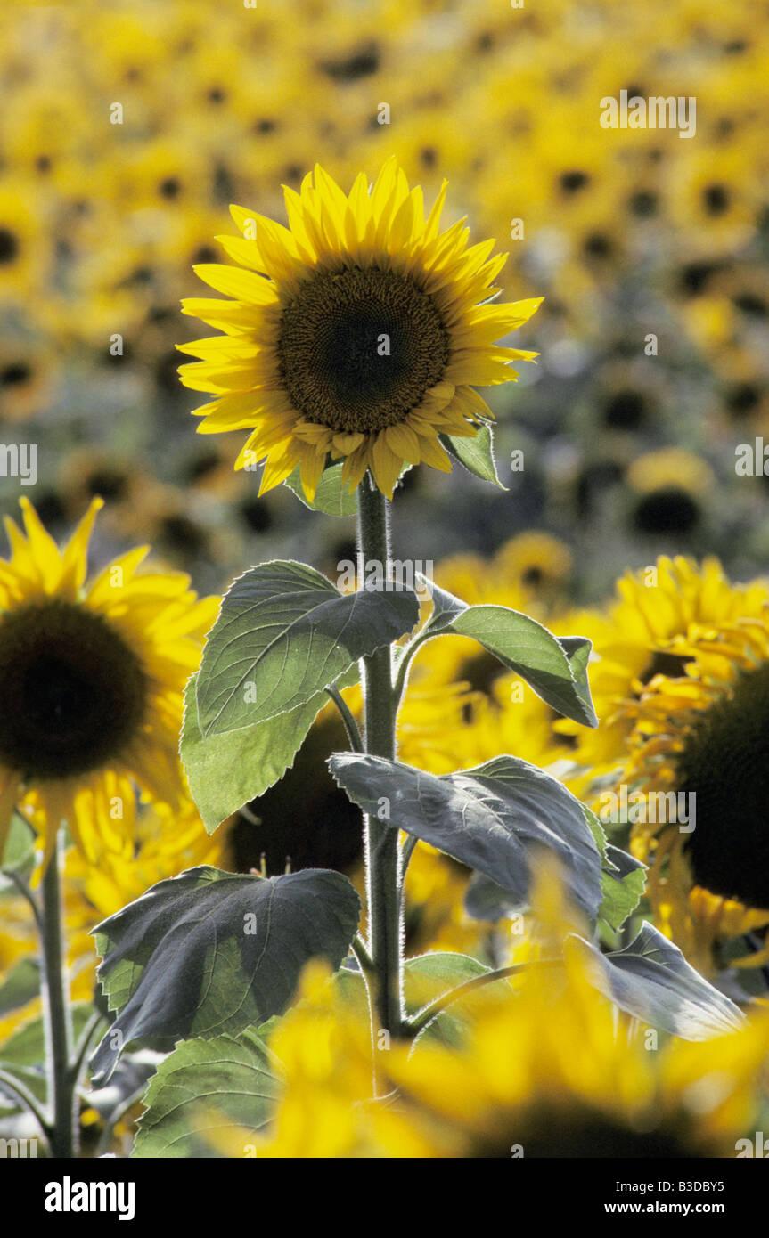 Tournesol Fleur Sonnenblume Sunflower Helianthus Annuus Flower Aster