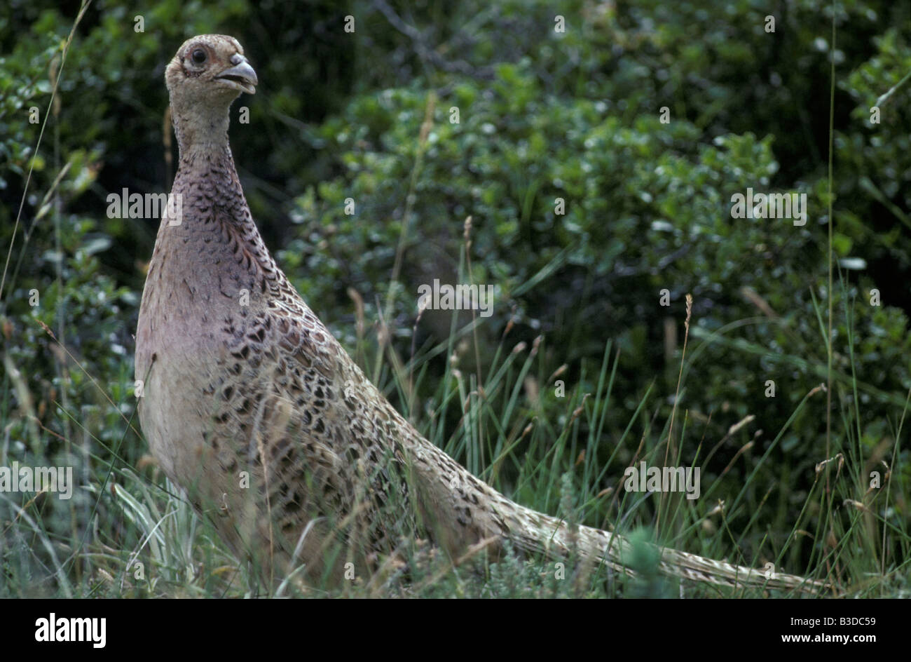 faisan Pheasant Phasianus colchicus profiles separate separately shots side sidewise single singly stand standing - Stock Image