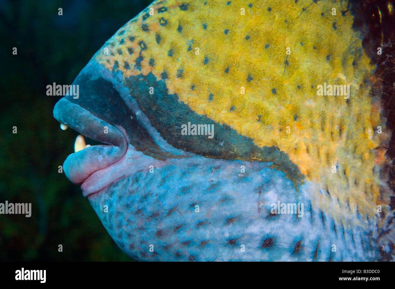 Close up of the mouth and teeth of the Titan Triggerfish Balistoides viridescens the largest triggerfish in the - Stock Image