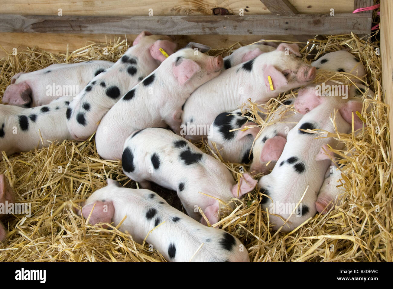Gloucester Old Spot Piglets at Cranleigh Show, 2008 - Stock Image