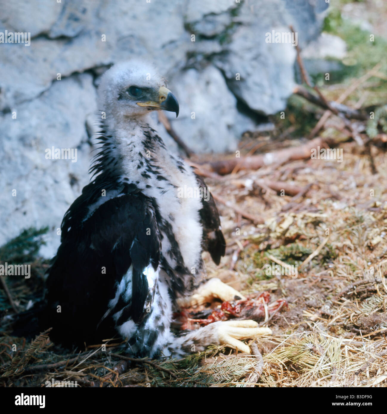 olden Eagle Aquila chrysaetos twoo months old eagle on nest site with carcass voralberg Austria Accipitridae Adler - Stock Image