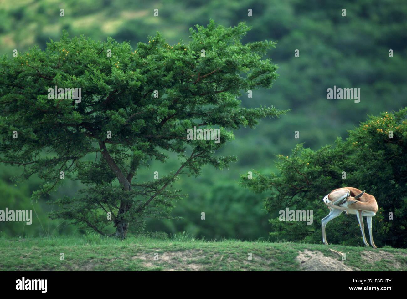 Springbock Mpongo Park Suedafrika Afrika - Stock Image