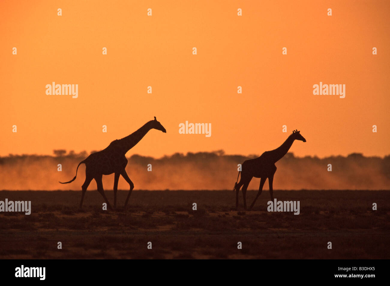 Cape Giraffe at Sunset Etosha National Park Namibia Africa - Stock Image