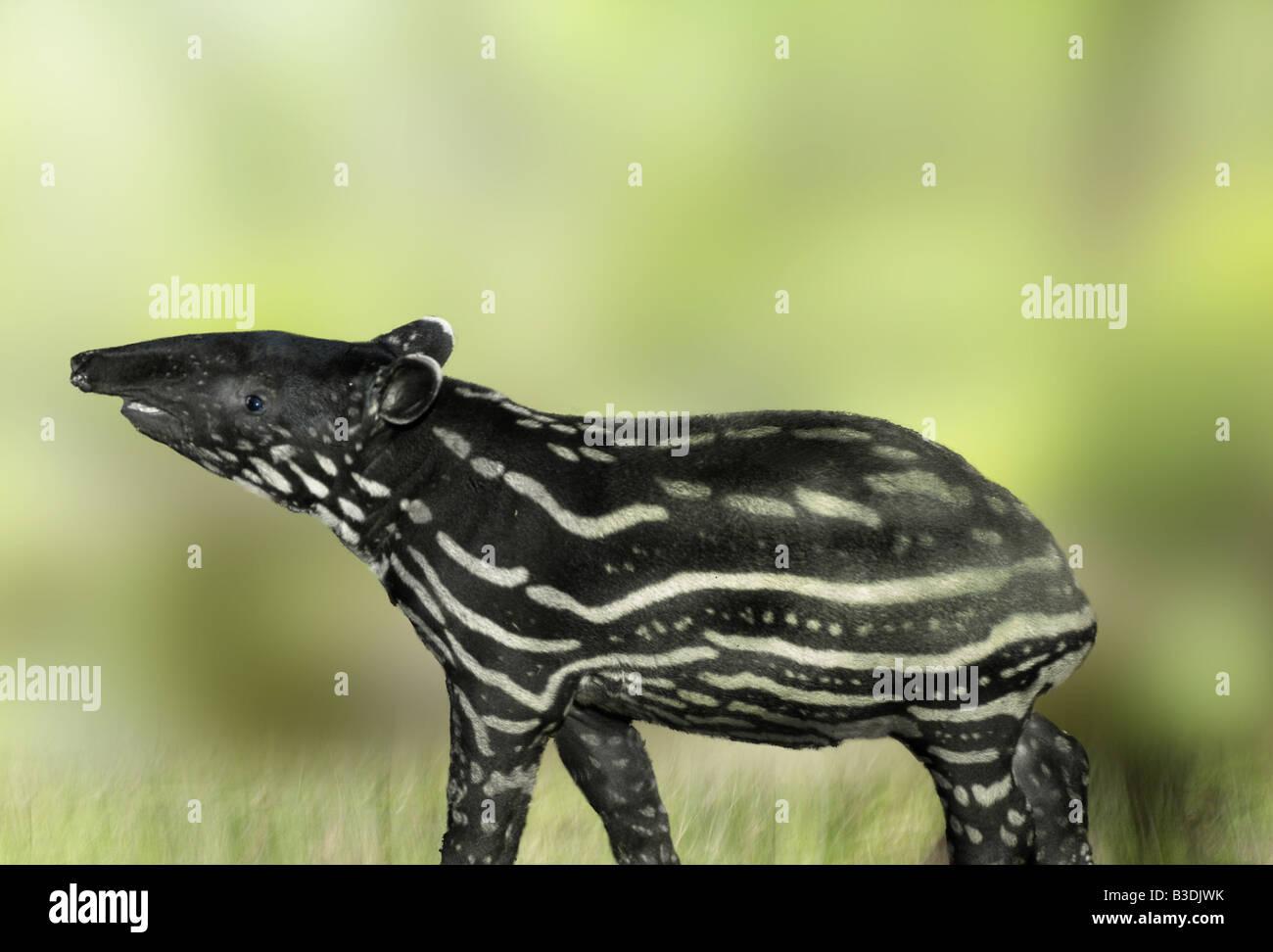 malayan tapir tapirus indicus schabrackentapir asiatischer tapir asian tapir Stock Photo