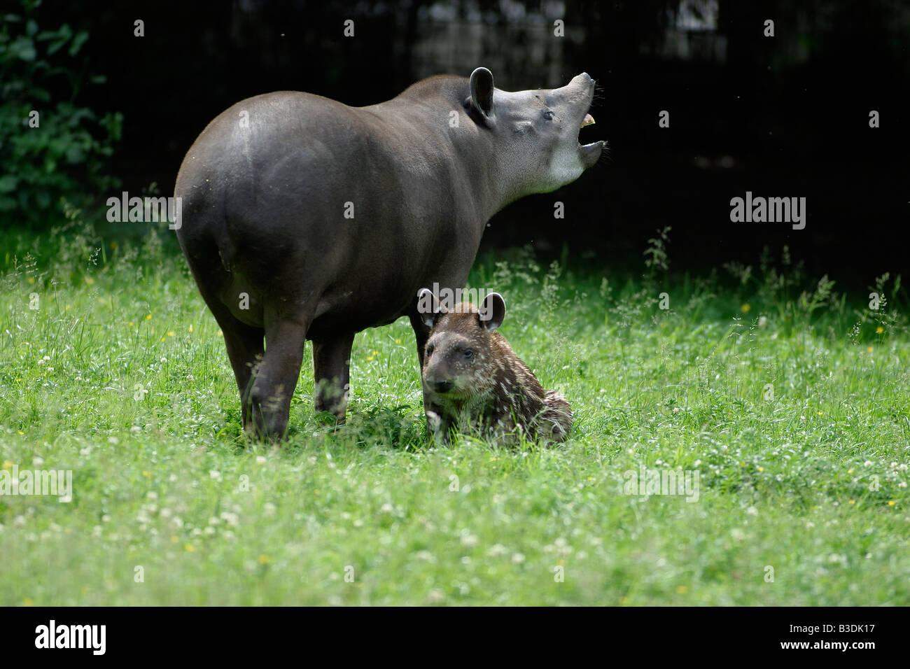 Flachlandtapir female with cub Tapir Tapirus terrestris southamerican tapir Stock Photo