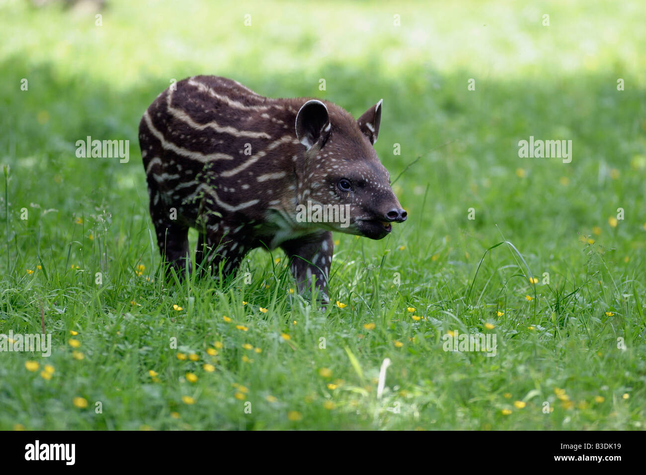 Flachlandtapir Tapir Tapirus terrestris southamerican tapir Stock Photo