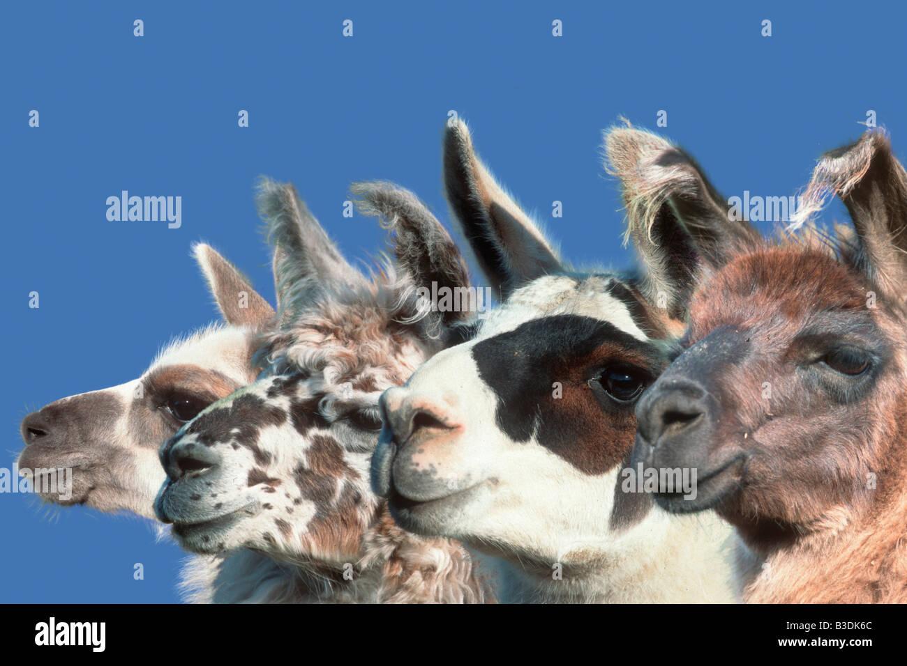 Lamas Anden Lamas Alpakas Lama glama Llama - Stock Image