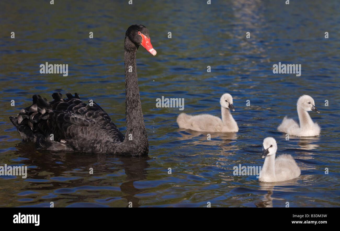 Trauerschwan Schwarzer Schwan Cygnus atratus Kuecken Junges Jungtier Niederlande black swan youngster chick Stock Photo