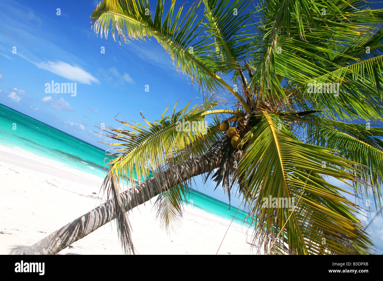 a leaning palm tree on a secluded beach in eleuthera bahamas stock