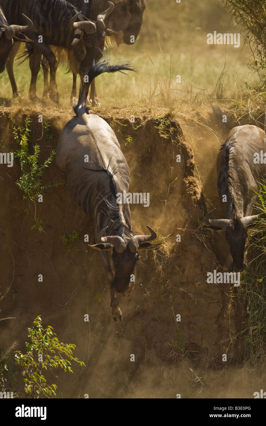 A pair of wildebeest leap off of an embankment on the Mara River in the Masai Mara during the annual migration dust Stock Photo