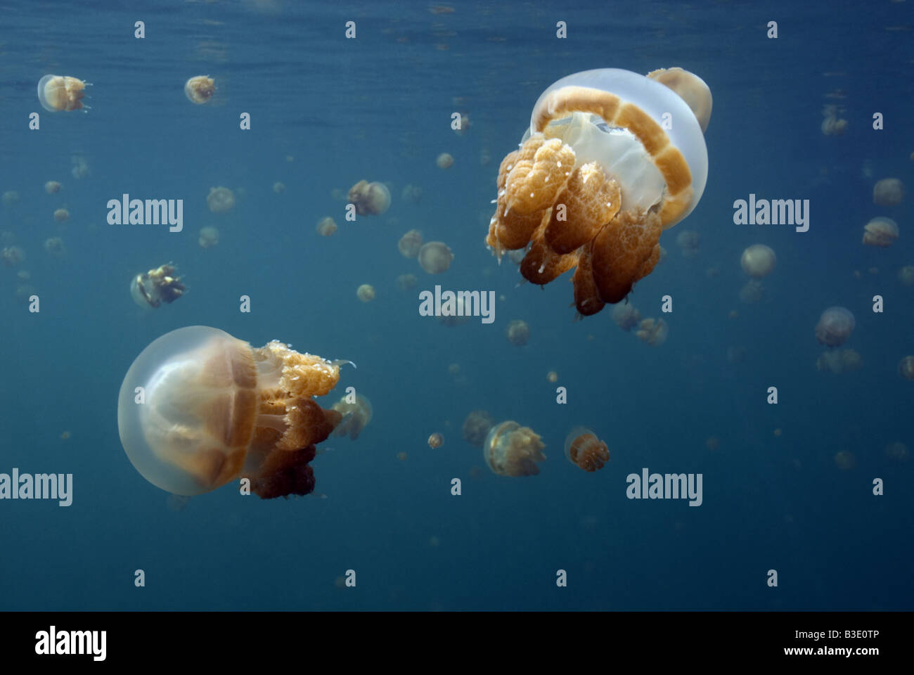 School of non stinging Jellyfish near the surface in lake