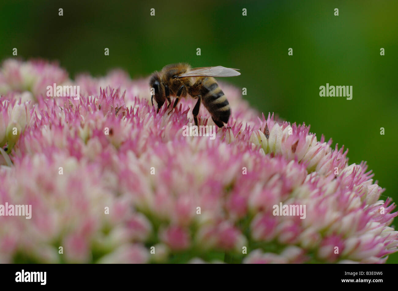 Bee on Sedum flower - Stock Image