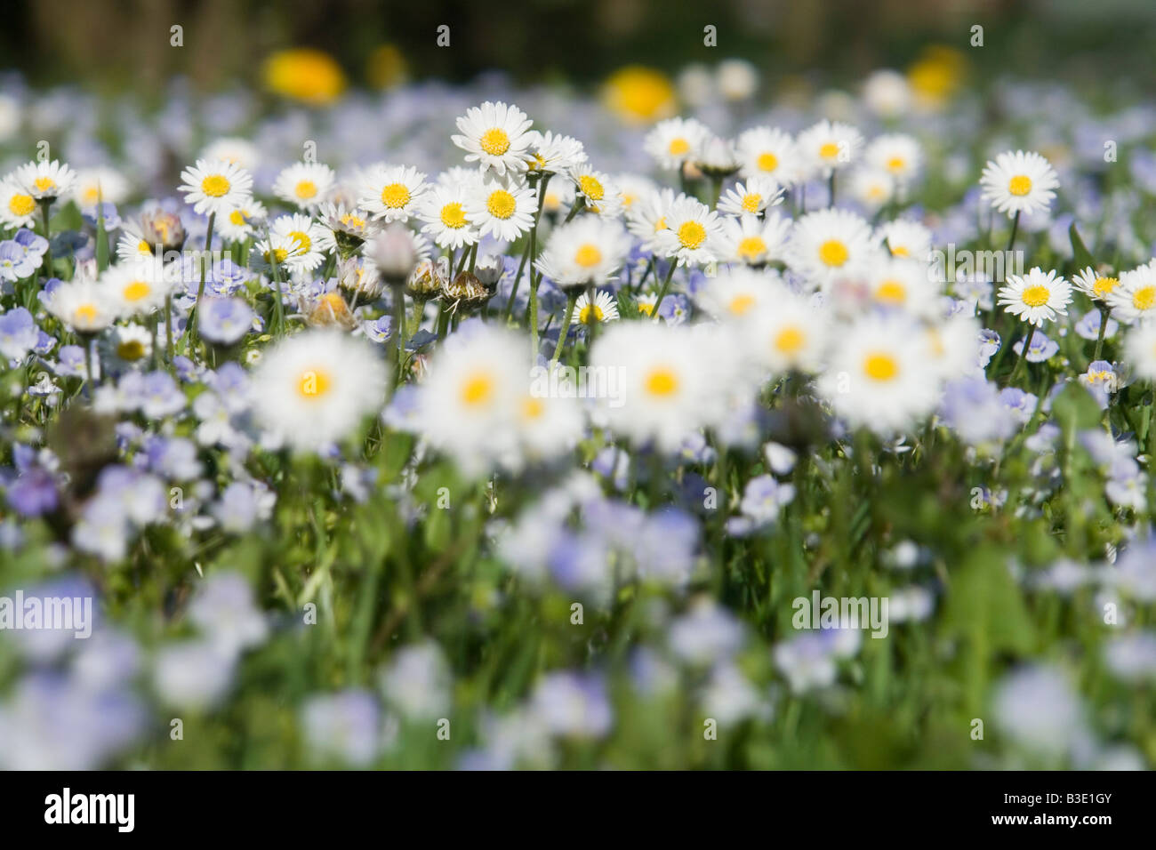 Germany, Bavaria, Wild daisies (Asteraceae), close-up - Stock Image