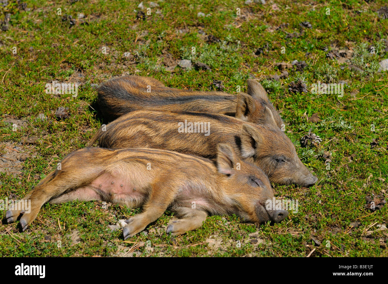 Three little baby wild boar piglets sleeping in the sun - Stock Image