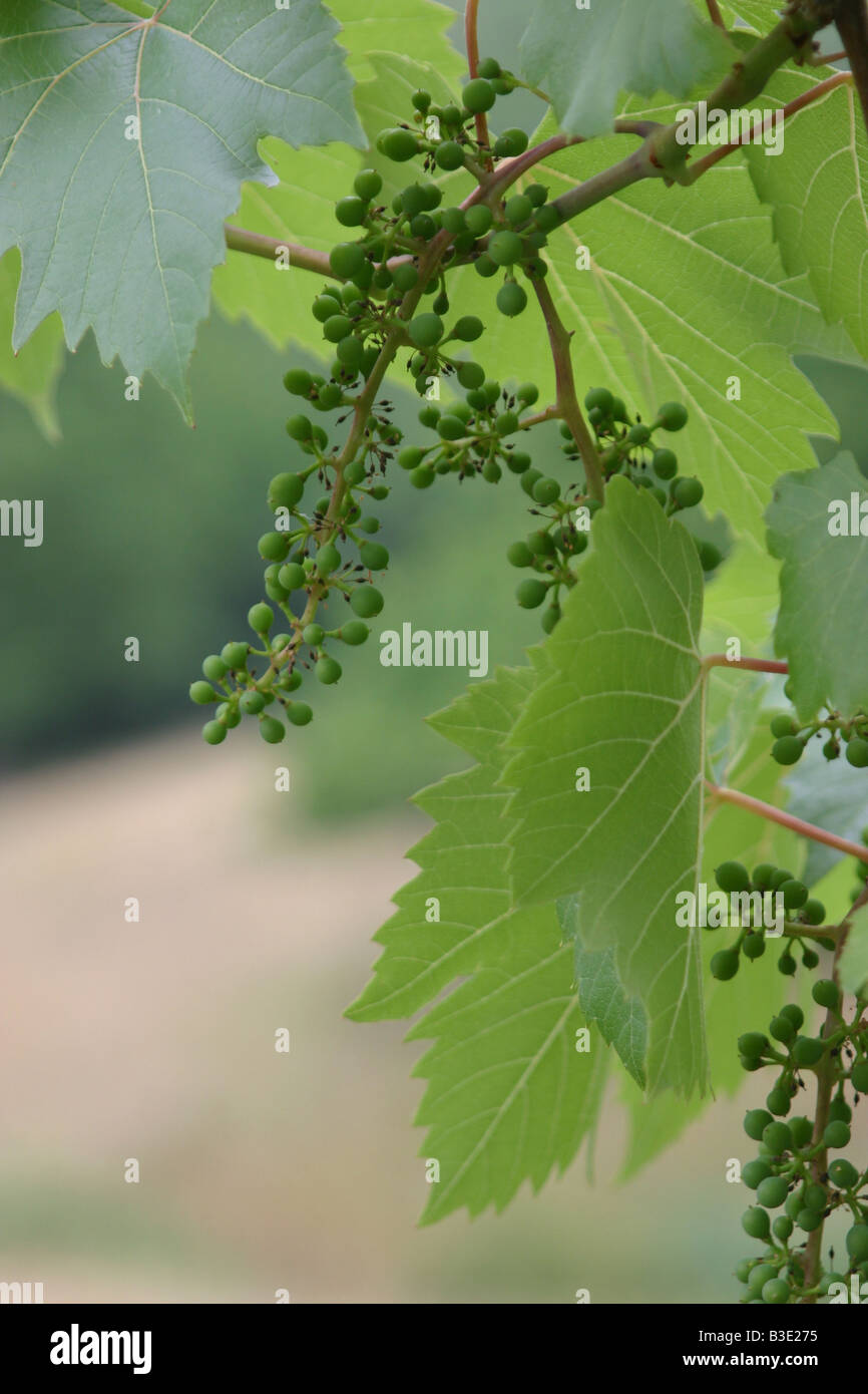 Young green vine grape and leaf. 33733_Grapes - Stock Image