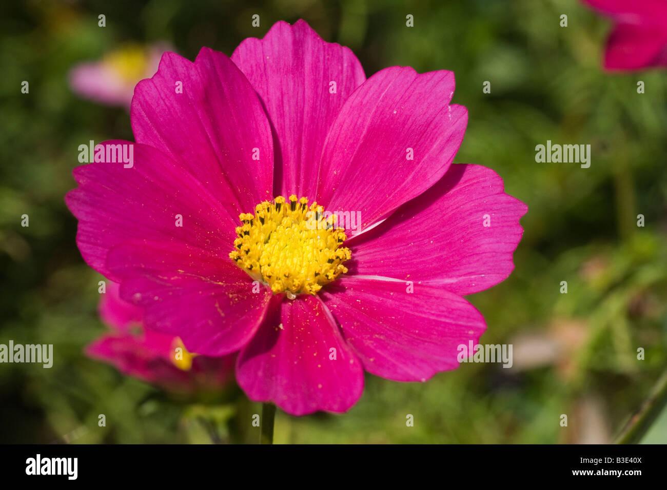 A pink cosmos flower cosmos bipinnatus this species is considered a a pink cosmos flower cosmos bipinnatus this species is considered a half hardy annual august 2008 mightylinksfo