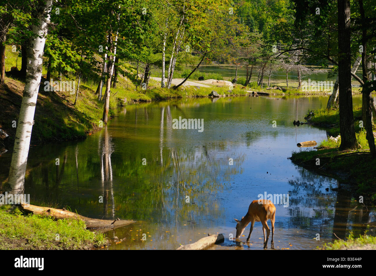Red Deer drinking and wild boar grazing at Bird Lake Park Omega Quebec Canada - Stock Image