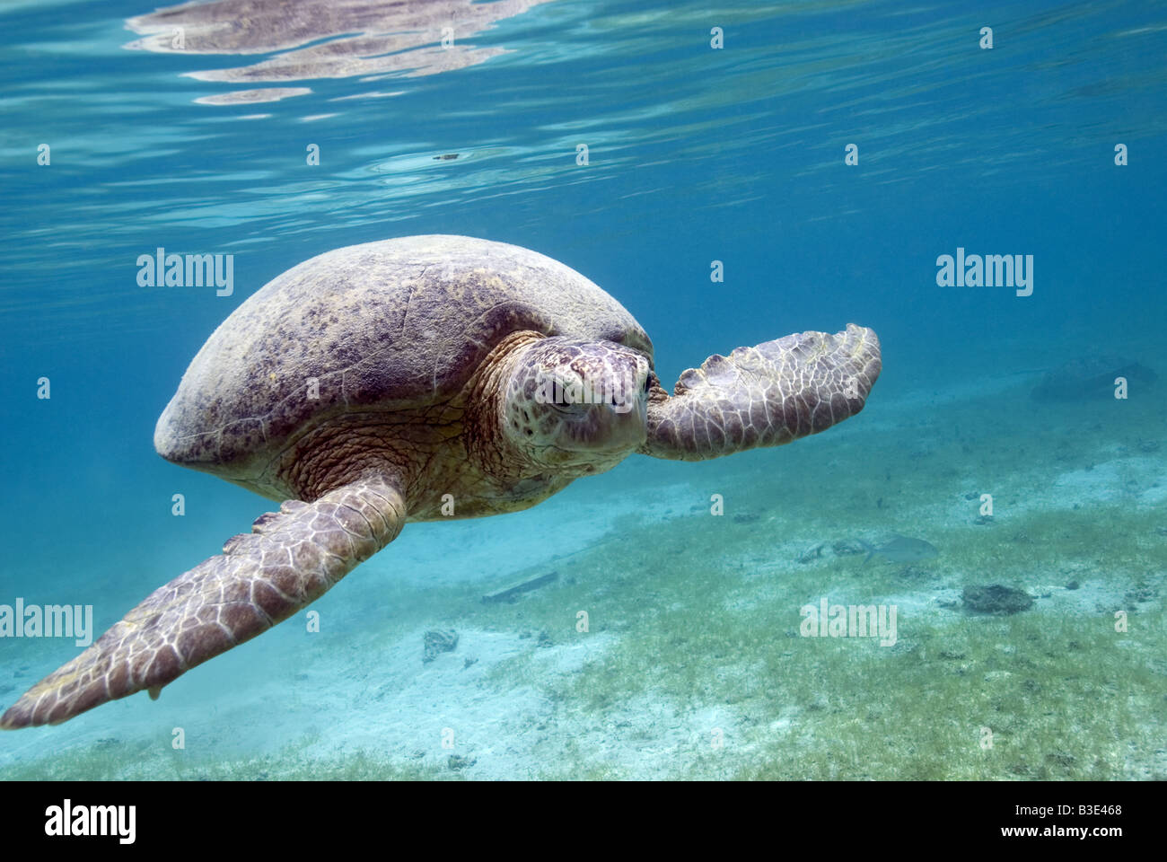 Green Turtle swimming over the seagrass bottom under water - Stock Image