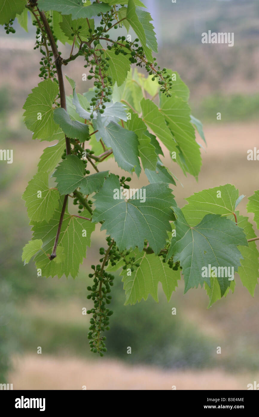 Young green vine grape and leaf. 33734_Grapes - Stock Image