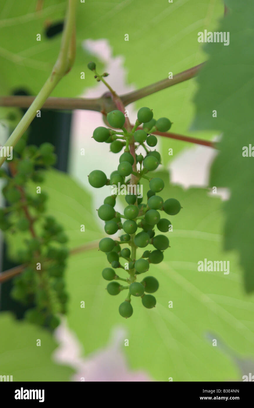 Young green vine grape and leaf. 33732_Grapes - Stock Image