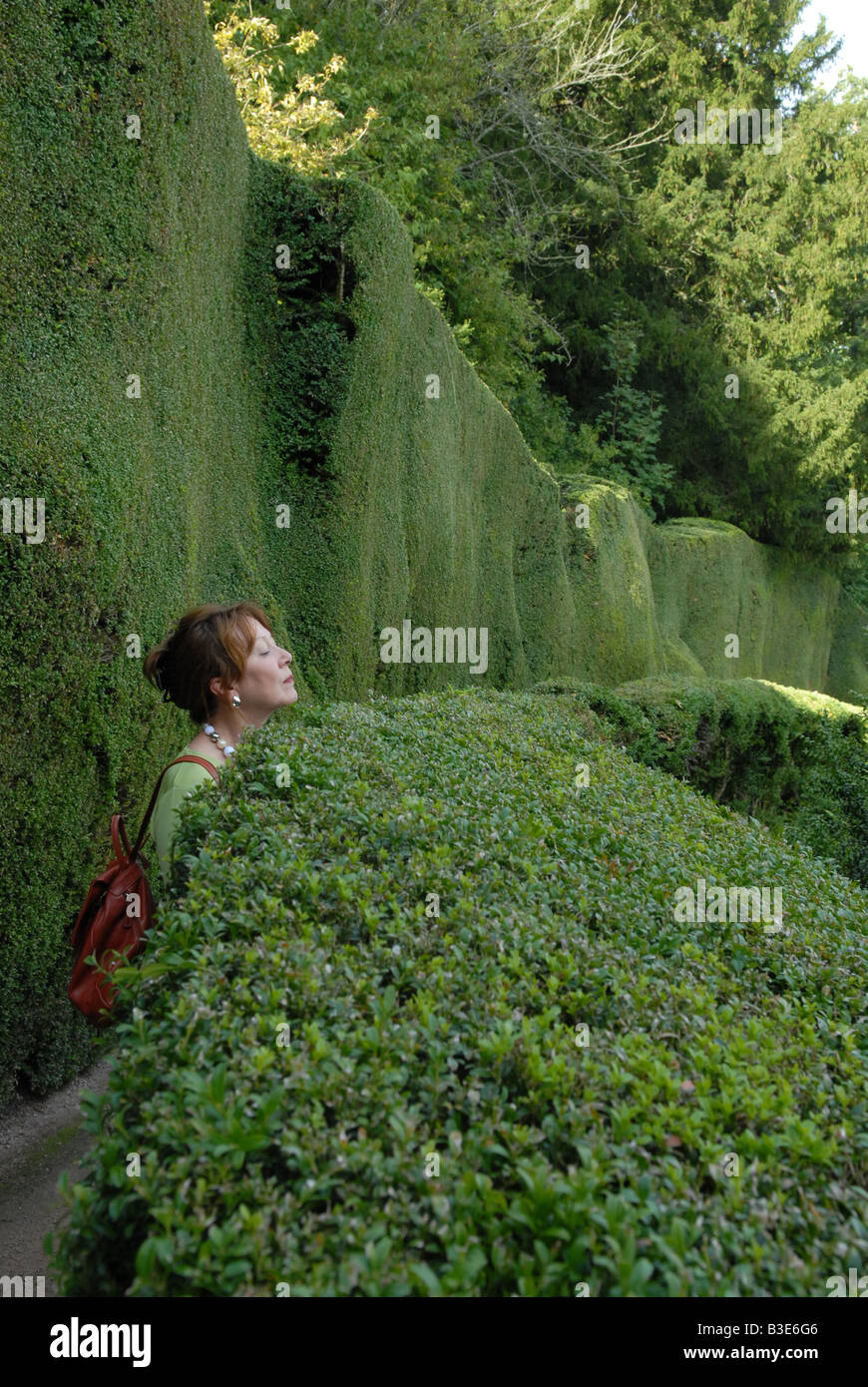 Woman peering over a high hedge uk - Stock Image