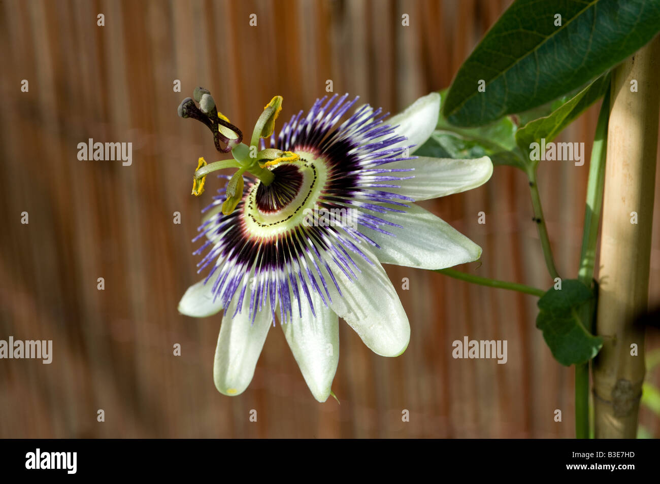 Passion Flower - 3 - Stock Image