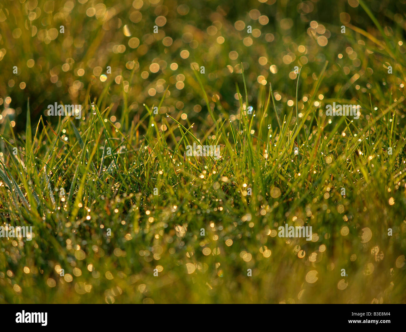 Morning dew water drops wet grass backlit - Stock Image