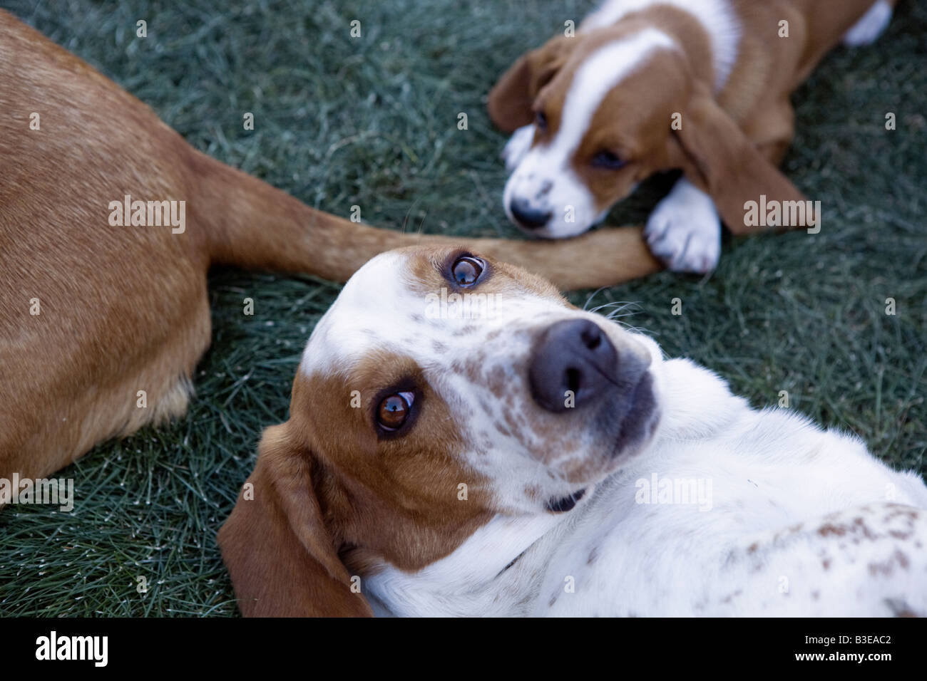 Heads and tails of Basset hound family - Stock Image
