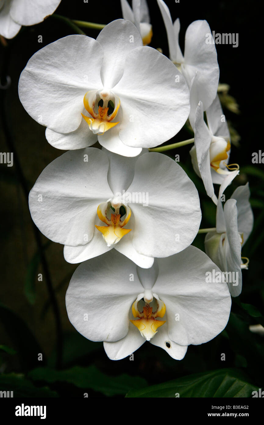 Three white orchids aligned in a row - Stock Image