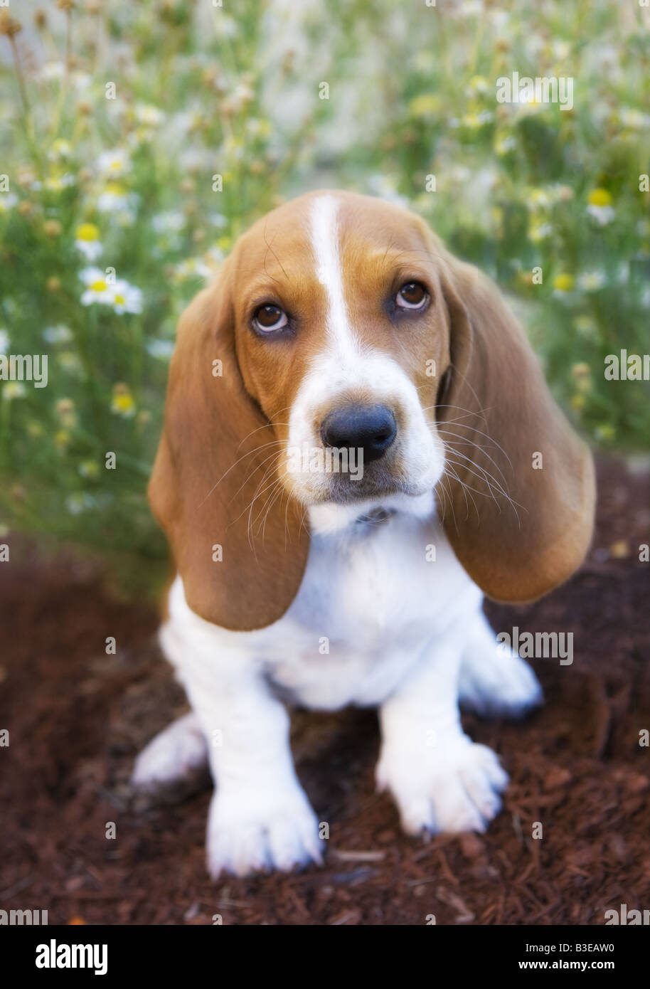 Brown And White Dog Cute brown and white B...