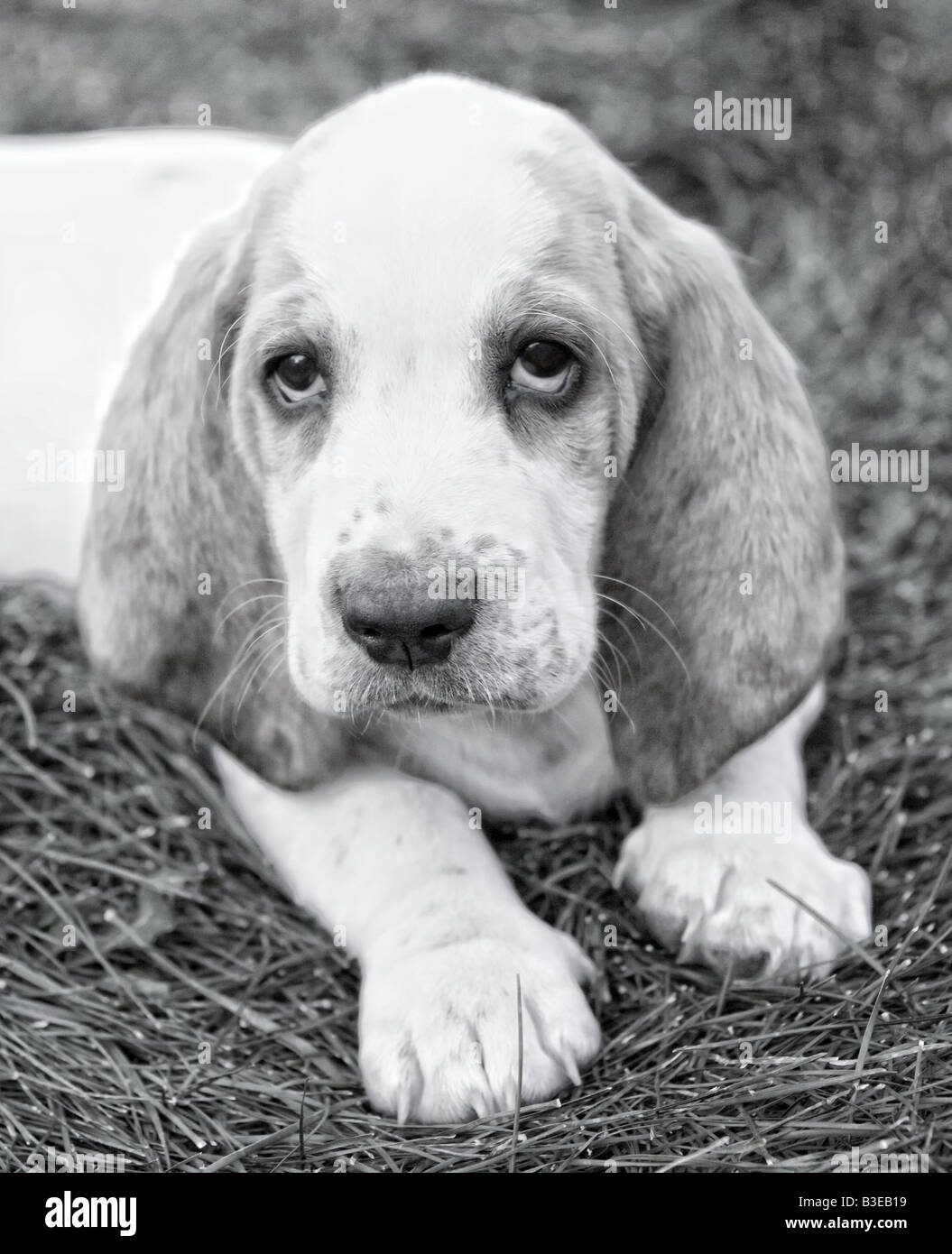 Cute Basset Hound in monotone - Stock Image